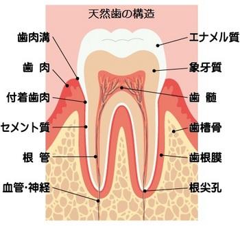 歯の構造(ブログ用).jpg