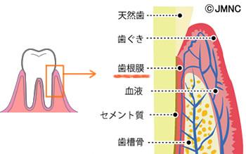 歯根膜.jpg